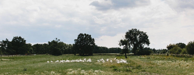Gänse auf einer Weide auf dem Bio-Bauernhof Hof Eggers in Hamburg Kirchwerder