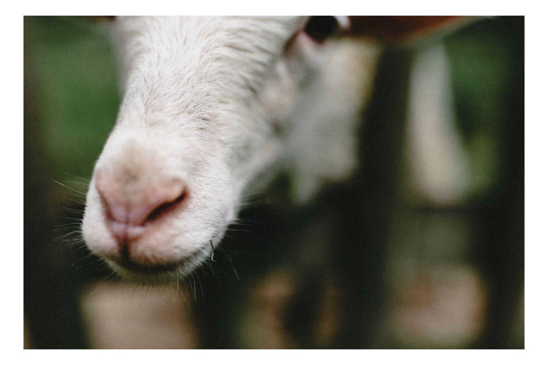 Die Nase eines Schafes auf Hof Eggers