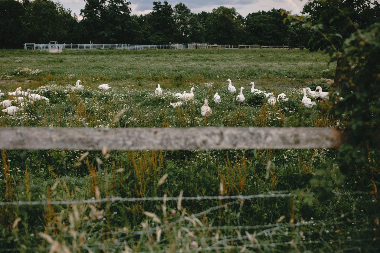 Gänse auf einer Weide hinter einem Zaun vom Hof Eggers